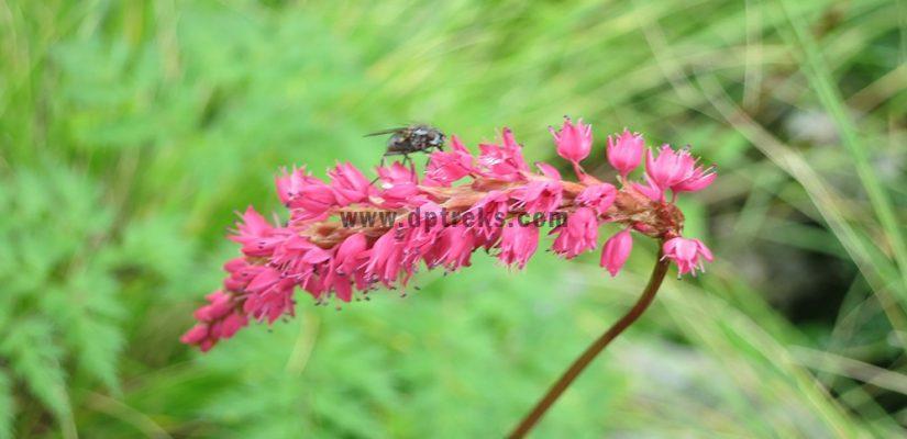 Annapurna flora fauna