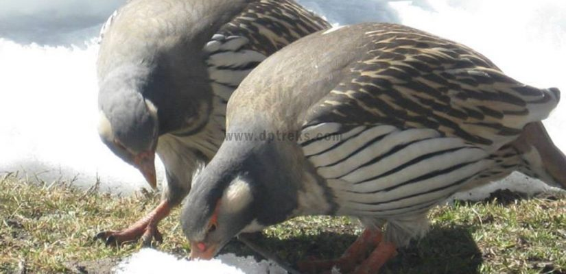 Rare bird found around Island peak